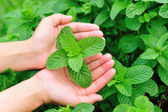 Hand protect mint plant — Stock Photo