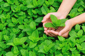 Young woman hands protect mint plant — Stock Photo