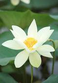 Lotus blooming — Stock Photo