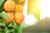 Lychee fruits — Stock Photo