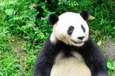 Panda-gigante — Fotografia Stock