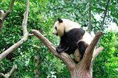 Giant panda — Stock Photo