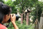 Woman photographer taking photo of panda — Stock Photo