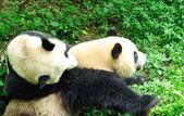 Großer panda — Stockfoto