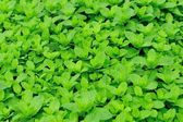 Mint plant grow — Stock Photo