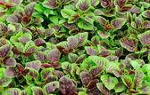 Edible amaranth grow — Stock Photo