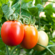 Stock Photo: Red and green tomatoes grow on twigs