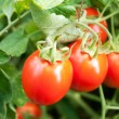 Stock Photo: Red tomatoes grow on twigs. Ripening organic tomatoes on veget