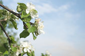 Flowers of apple and blue sky — Stock Photo