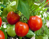 Red tomatoes grow on twigs. Ripening organic tomatoes on a veget — Stock Photo