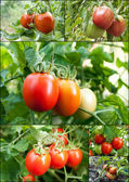 Set of tomatoes grow on twigs — Stock Photo