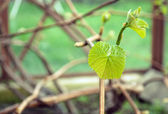 New leaves are growing on the vine — Stock Photo