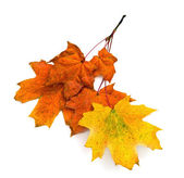 Autumn leaves maple — Stock Photo