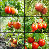 Red tomatoes grow on twigs. — Stock Photo