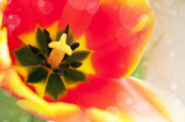 Red tulip close-up — Stock Photo