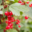 Red Currant berries on a bush closeup — Stock Photo
