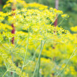 Stock Photo: Dill. flowers of dill