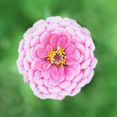 Beautiful pink tsiniya — Stock Photo