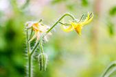 Flores de tomate na haste — Foto Stock