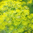 Dill. flowers of dill — Stock Photo