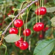 Ripe cherries on branch — Stock Photo #32999645