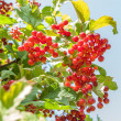 Stock Photo: Guelder rose