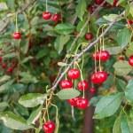 Ripe cherries. Fresh Cherries on branch. — Stock Photo #34240133