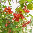 Guelder rose — Stock Photo