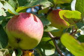 Apples on a branch. Apples at the orchard — Stock Photo