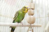 Зеленые внутренние волнистый попугайчик, сидя с другом его игрушка. — Стоковое фото