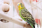 A green domestic budgie sitting with his toy friend. — Stock Photo