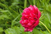 Red peony in the garden after the rain — Stock Photo