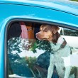 hond in de auto — Stockfoto