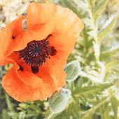 Vintage poppy flower — Stock Photo