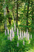 Wild lupines growing in Black Forest — Stock Photo