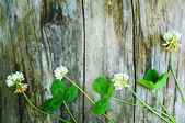 White clover flowers on old wooden background — Stock Photo