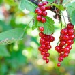 Red currant. Ripe and Fresh Organic Redcurrant Berries Growing i — Stock Photo #50646349