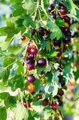 The jostaberry (lat. Ribes x nidigrolaria) is a cross fruit bush — Stock Photo