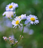 Flowers macro — Stock Photo