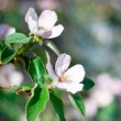 Stock Photo: Two white-pink blossoms on quince branch