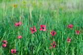 Red wild flovers among green grass — Stock Photo