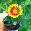 Bright round yellow flower in the pot — Stock Photo