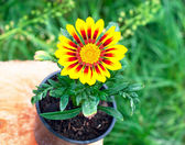 Bright round yellow flower in the pot — Photo
