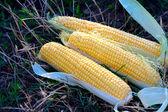 Yellow maize corncob — Stock Photo