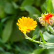 Yellow calendula flowers — Stock Photo