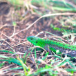 Stock Photo: Shining green lizard in grass