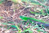 Shining green lizard in the grass — Stock Photo