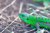 Shining green lizard — Stock Photo