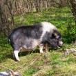Large dark spotted pig in the forest among the trees — Stock Photo