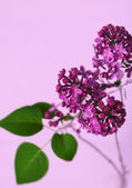 Sprig of lilac on a purple background — Stock Photo